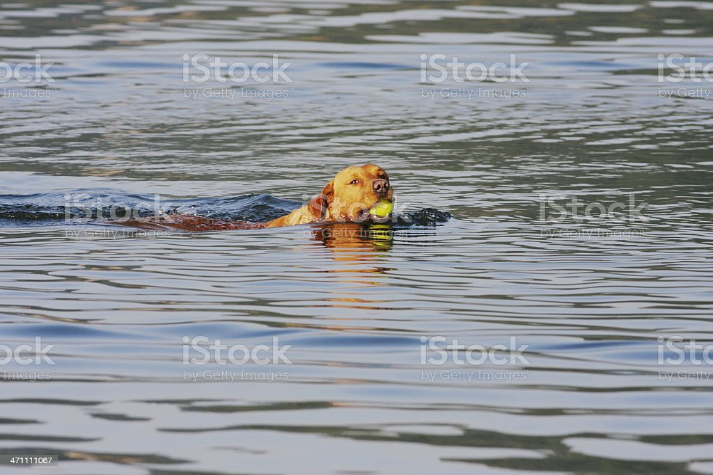 Golden labrador dog in water retrieving yellow tennis ball royalty-free stock photo
