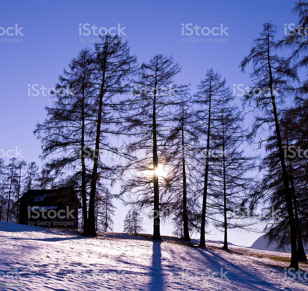 Some Larch in the warm violet winter sun with shadow stock photo