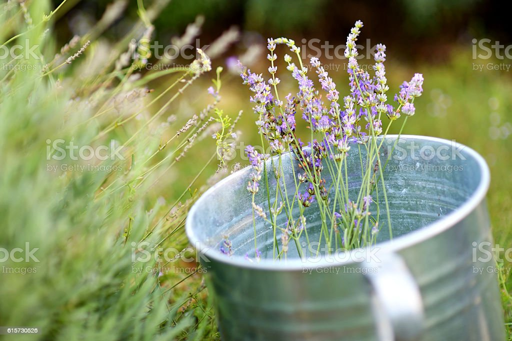 Some lavender in a bucket stock photo