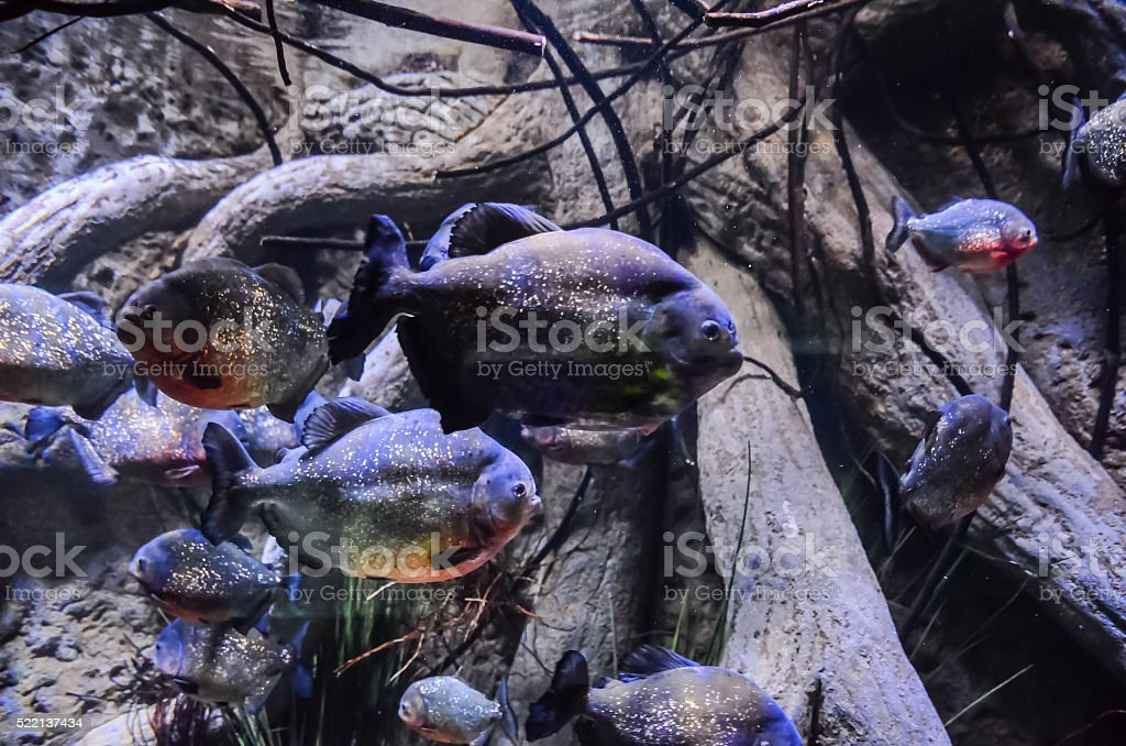 Some Orange Piranhas stock photo