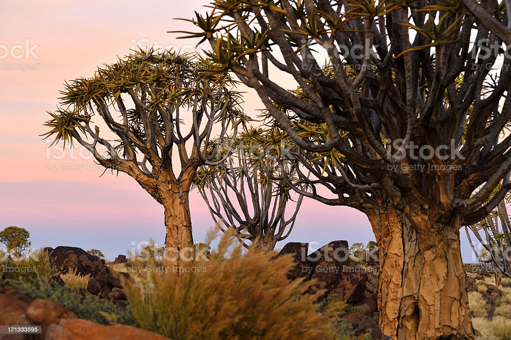 Some Quiver Trees after sunset stock photo