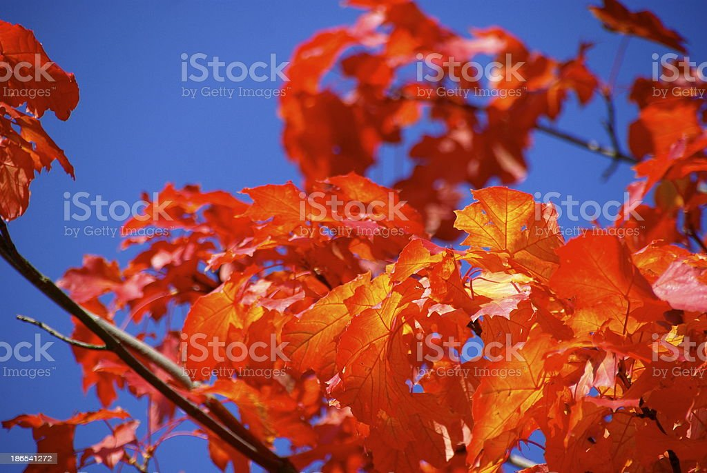 Some red and orange maple leaves royalty-free stock photo