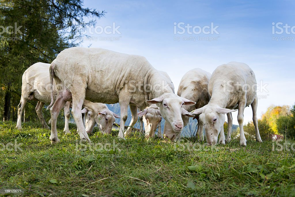 some sheep graze at hill royalty-free stock photo