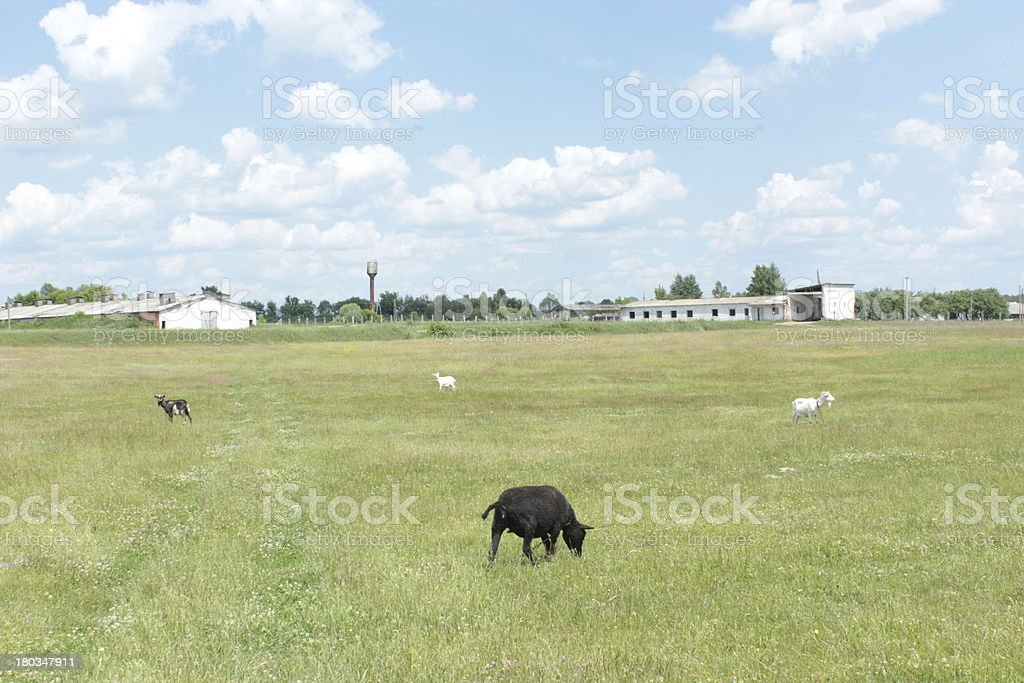 some sheeps grazing on a grass royalty-free stock photo