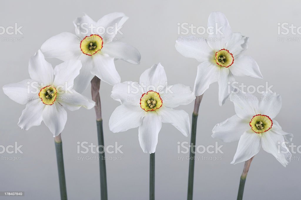 some white daffodils  a gray background royalty-free stock photo