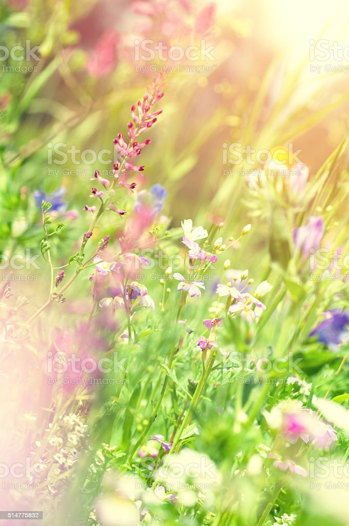 sommerly wildflower medow in backlit stock photo