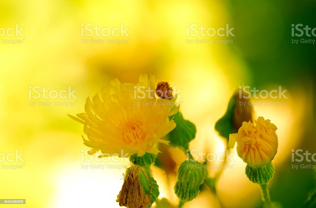 Sonchus Arvensis stock photo