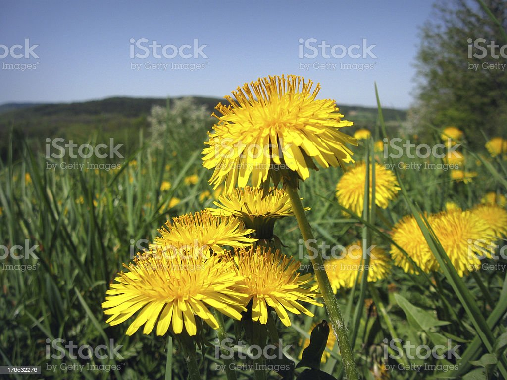 Sonchus royalty-free stock photo