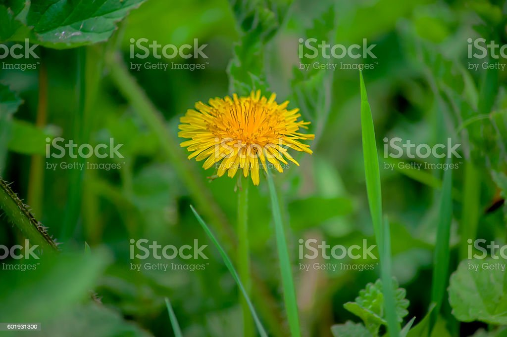 Sonchus stock photo