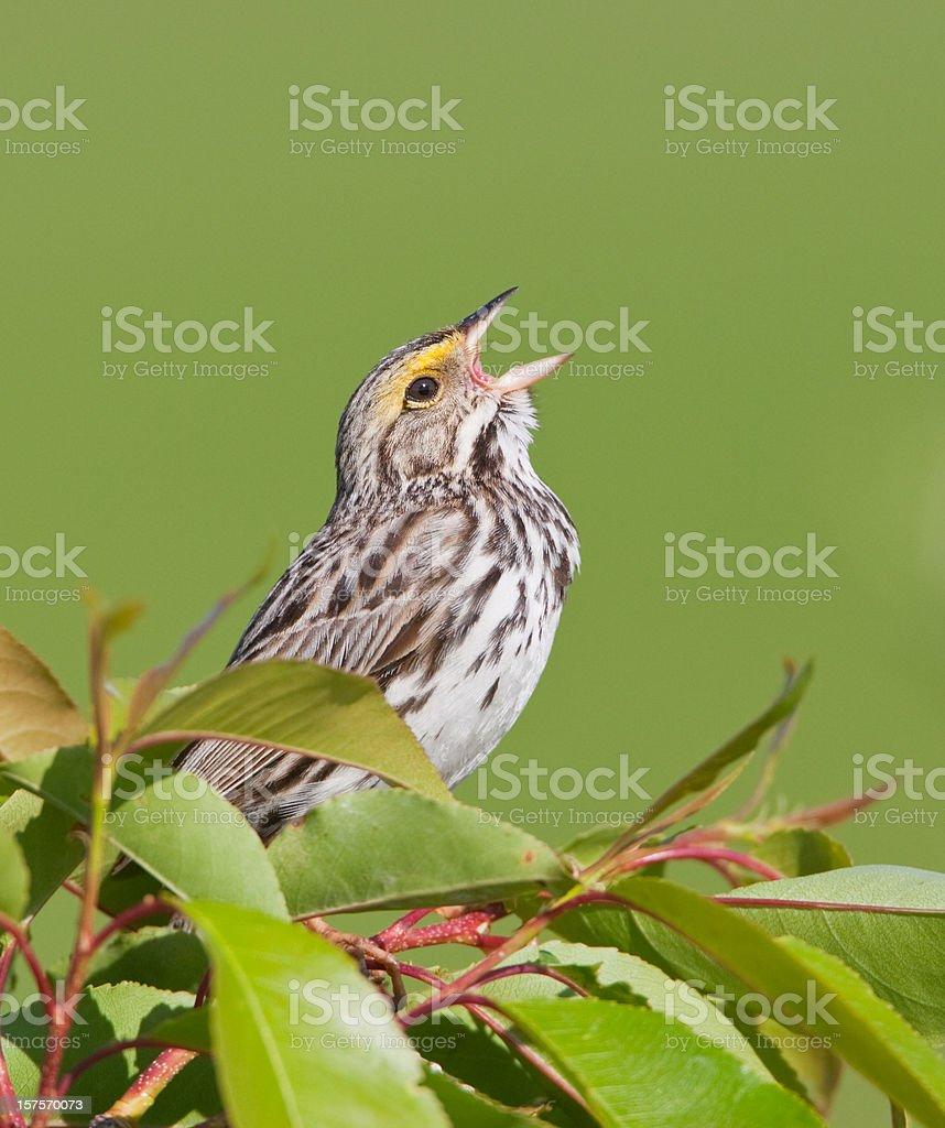 Song Bird stock photo