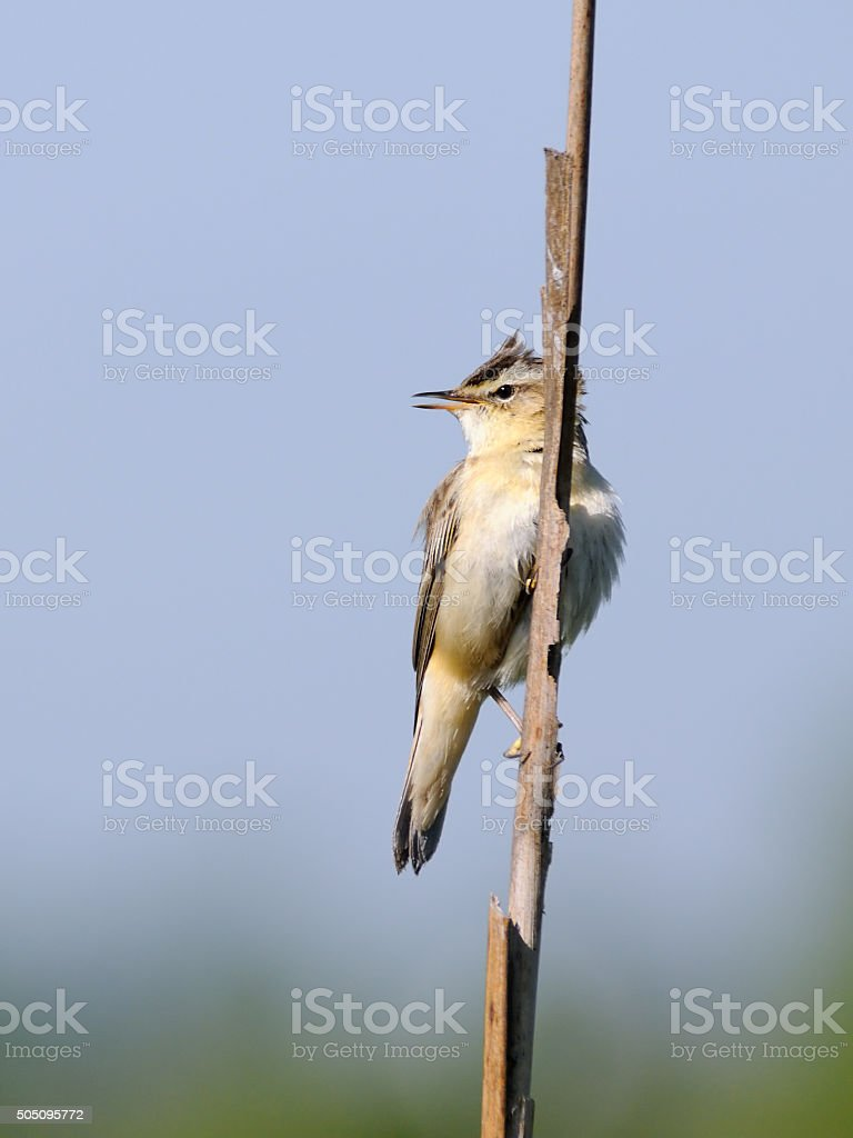 Song of perching Sedge Warbler stock photo
