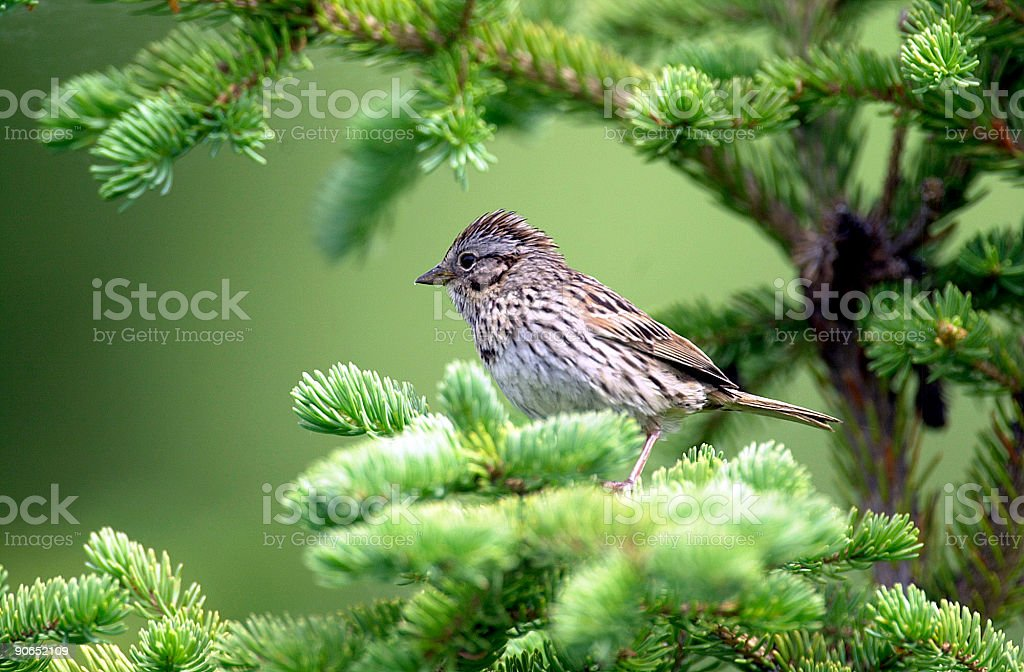 Song Sparrow in fir tree royalty-free stock photo