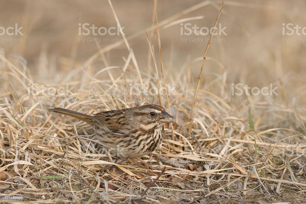 Song Sparrow in Ground Camouflage stock photo