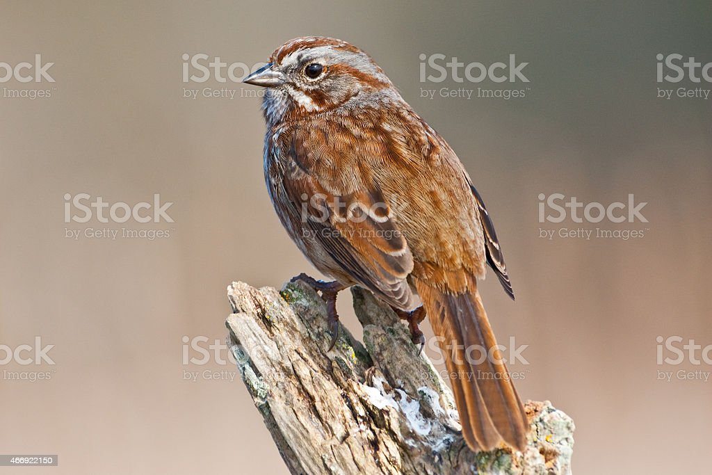 Song Sparrow on a Driftwood Perch stock photo