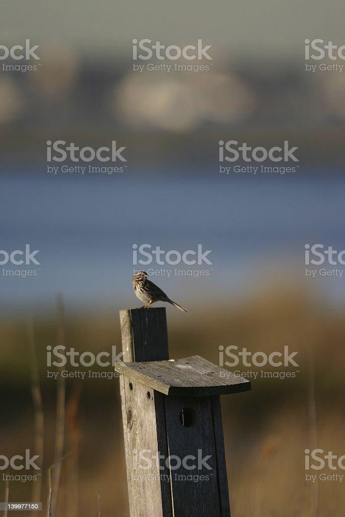 Song sparrow on birdhouse stock photo