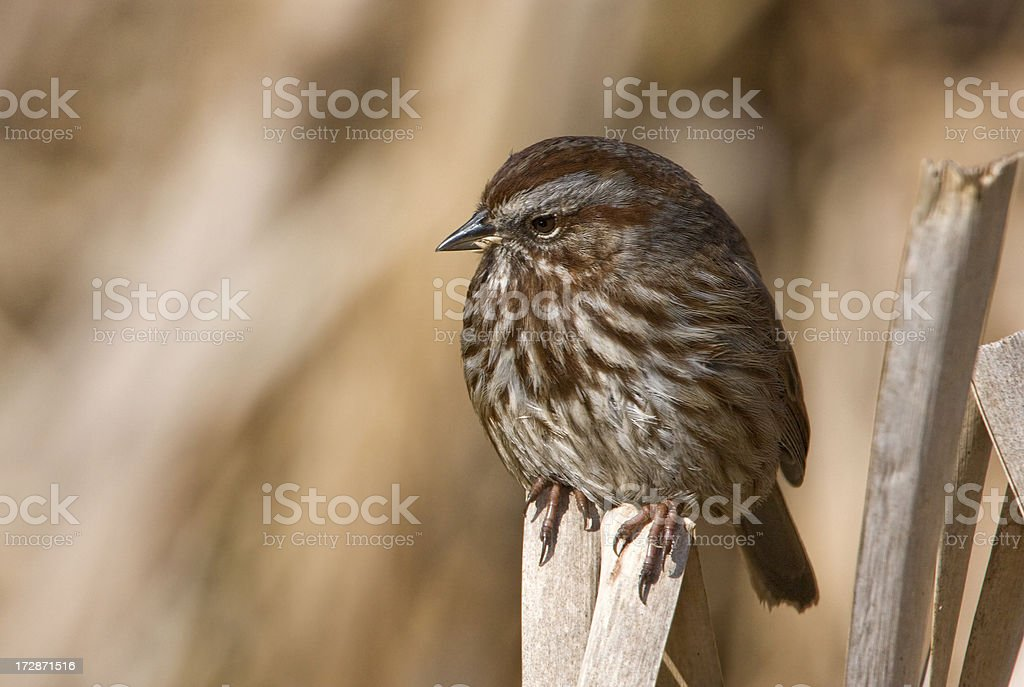 Song Sparrow on Cattails royalty-free stock photo
