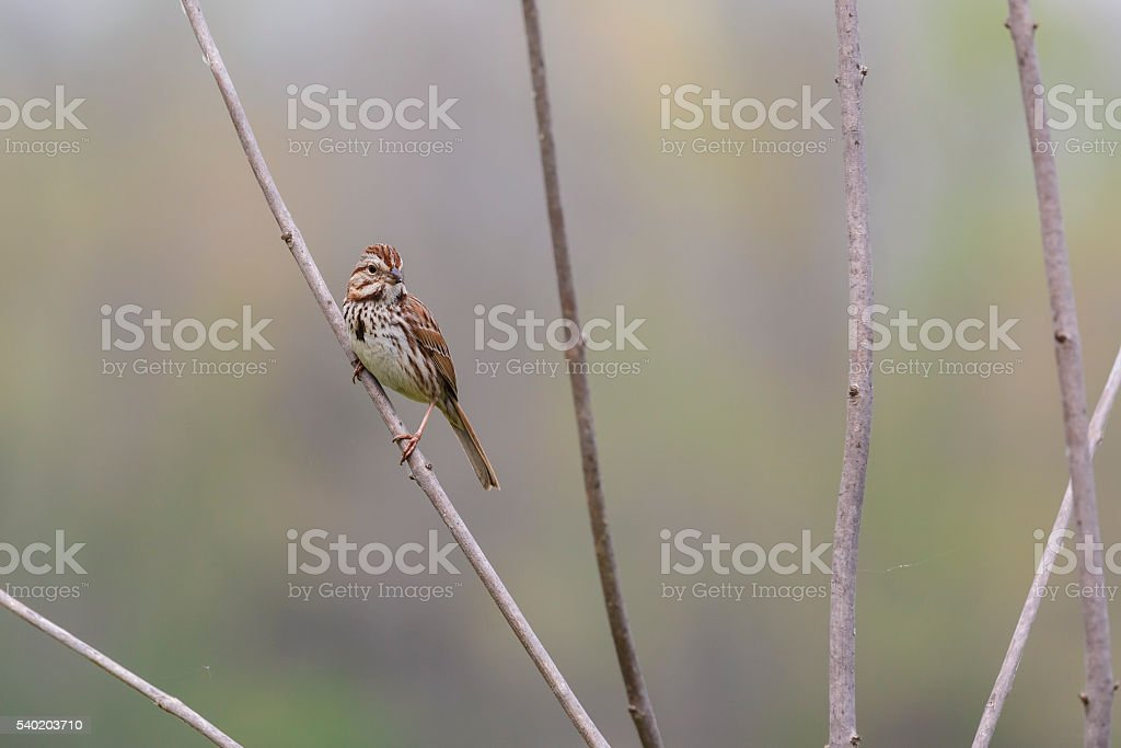 Song Sparrow (Melospiza georgiana) On Marsh Plant stock photo