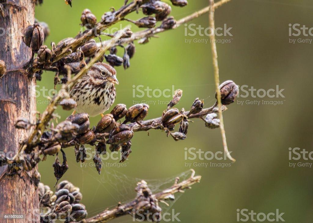 Song Sparrow (Melospiza melodia) stock photo