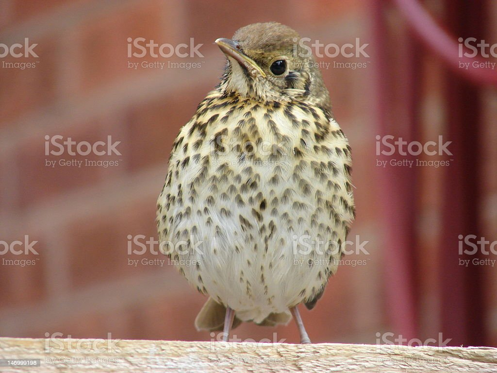 Song Thrush Bird (Turdus philomelos) royalty-free stock photo
