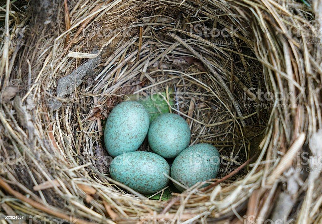 Song Thrush (Turdus philomelos) birds nest with eggs stock photo