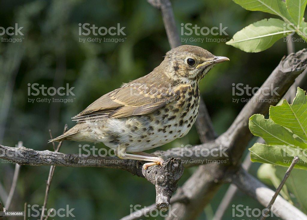 Song thrush chick. stock photo