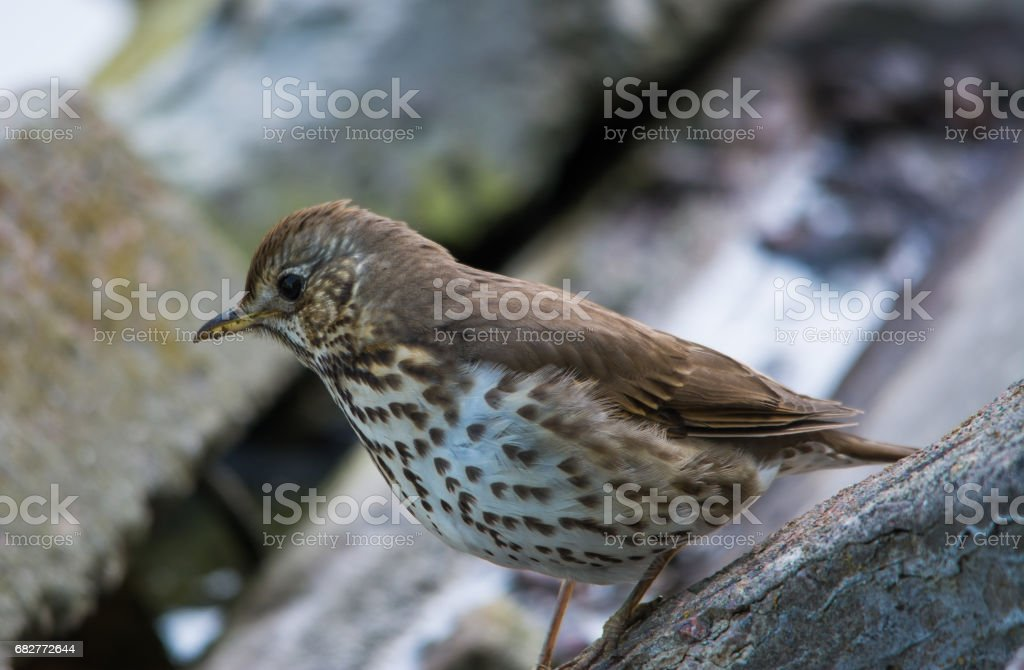 Song Thrush (Turdus philomelos) close-up stock photo