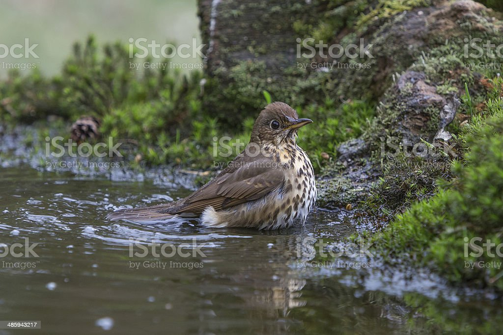 Song Thrush (Turdus philomelos) is taking a bath stock photo
