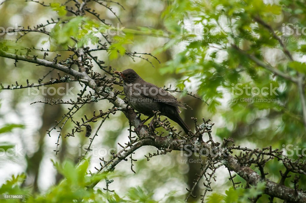 Song Thrush perched on tree branch stock photo