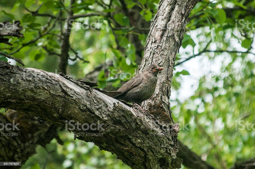 Song Thrush perched on tree stock photo
