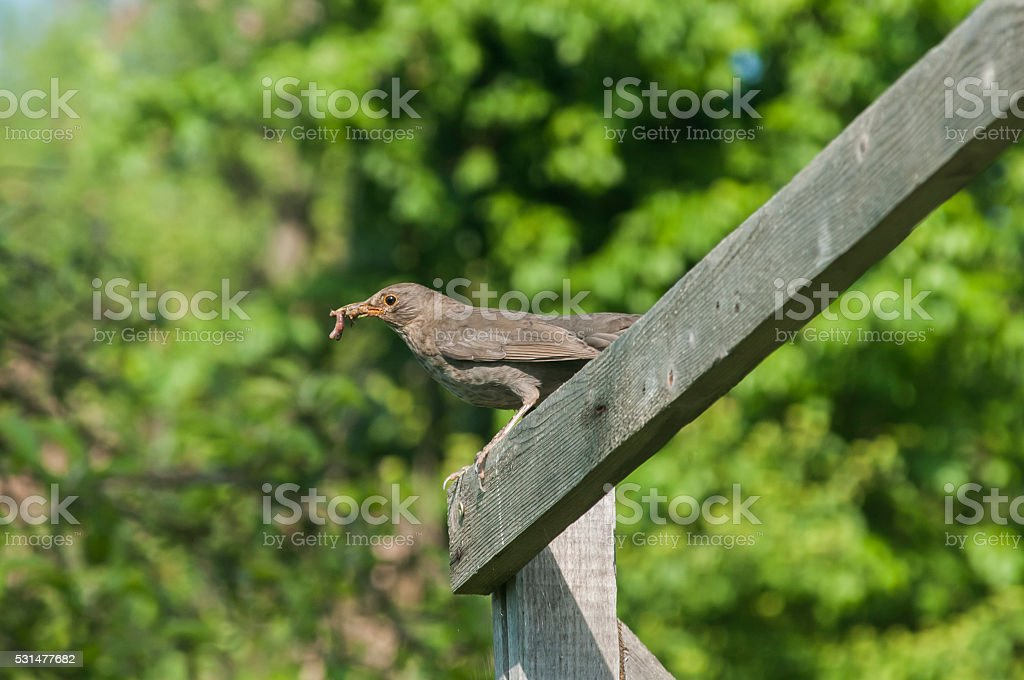 Song Thrush perched on wooden board stock photo