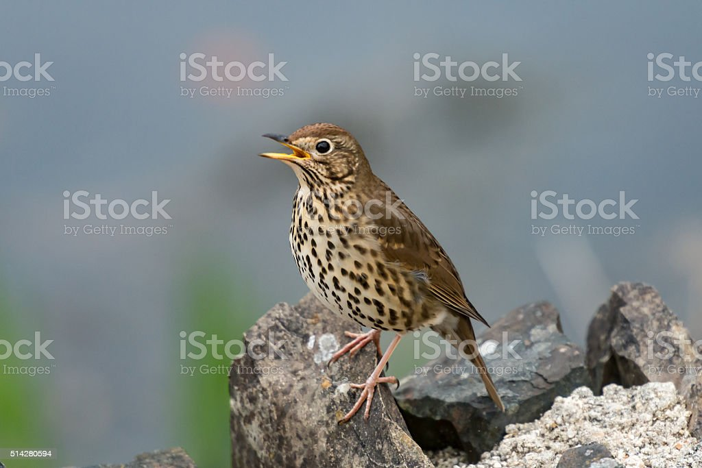 Song thrush singing in Spring stock photo