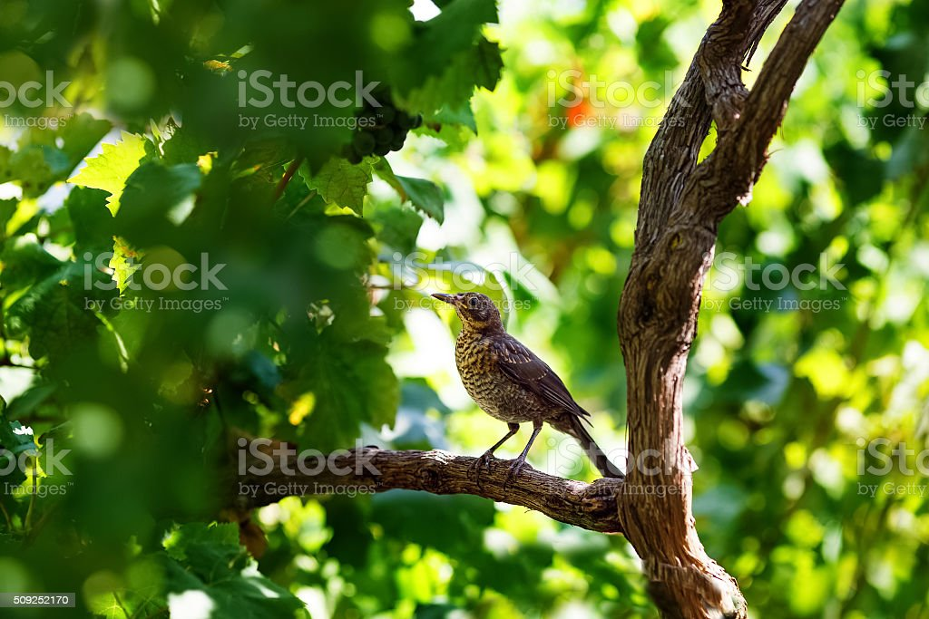 Song thrush sitting on wine branch stock photo