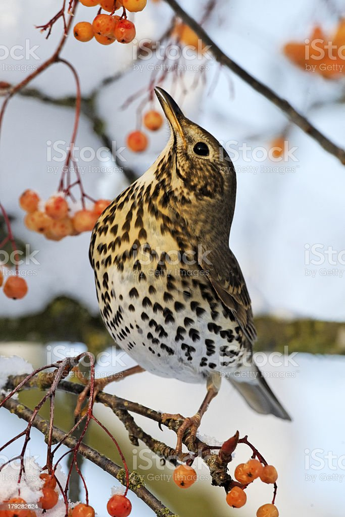 Song thrush, Turdus philomelos royalty-free stock photo