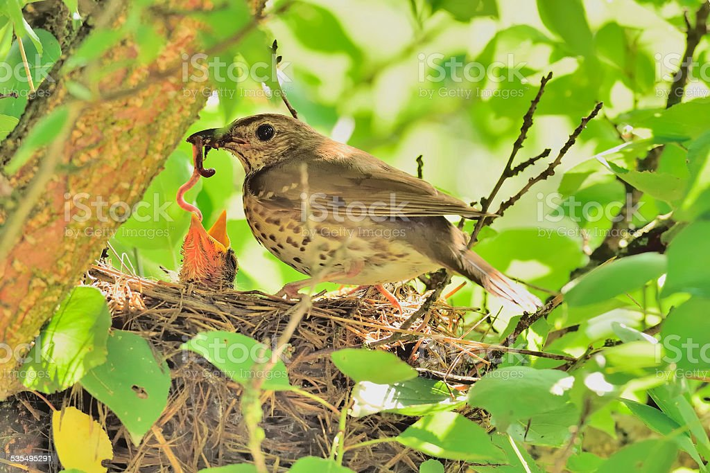 Song thrush with worm in its beak in the nest stock photo