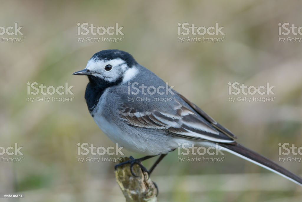 Songbird Closeup - White Wagtail Sitting on a Branch stock photo