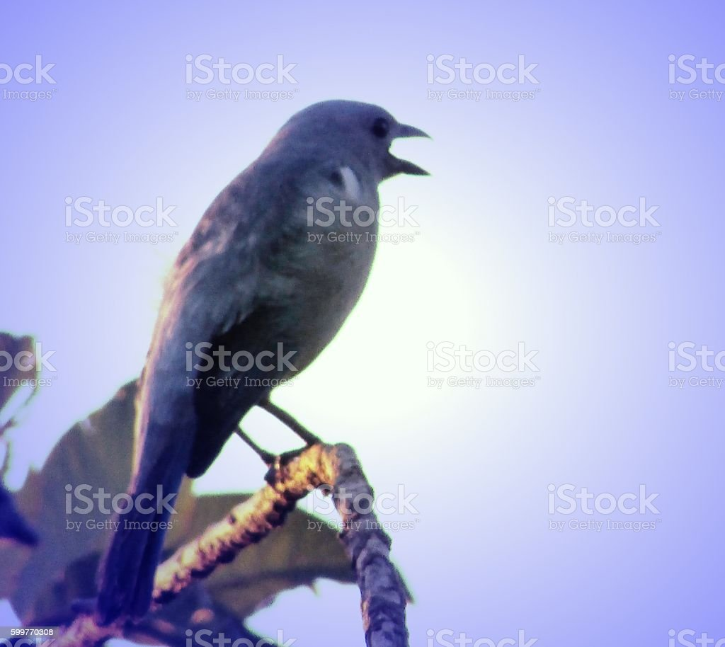 Songbird from Amazon stock photo