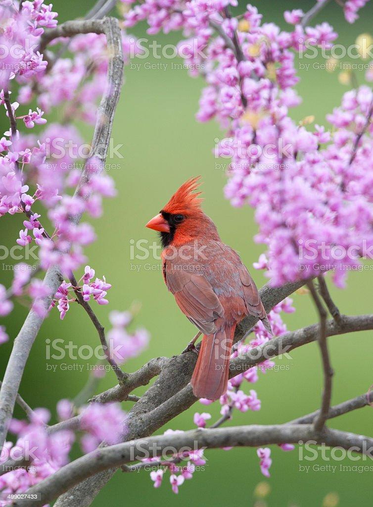 Songbird in Spring stock photo
