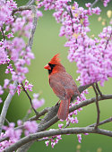 Songbird in Spring