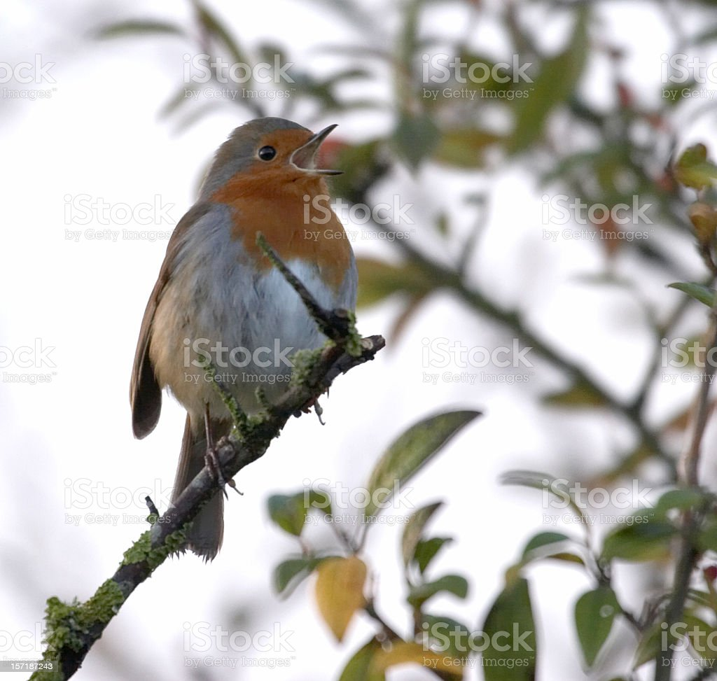 Songbird royalty-free stock photo
