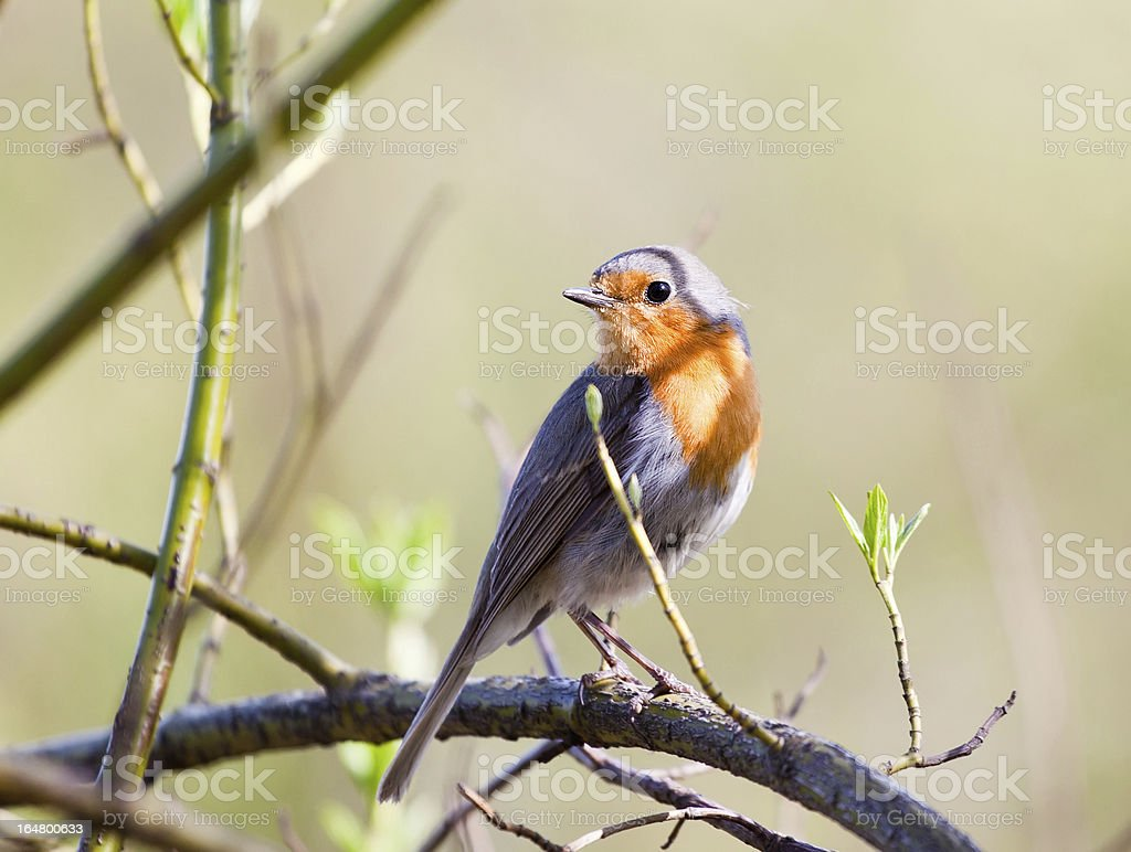 Songbird robin royalty-free stock photo