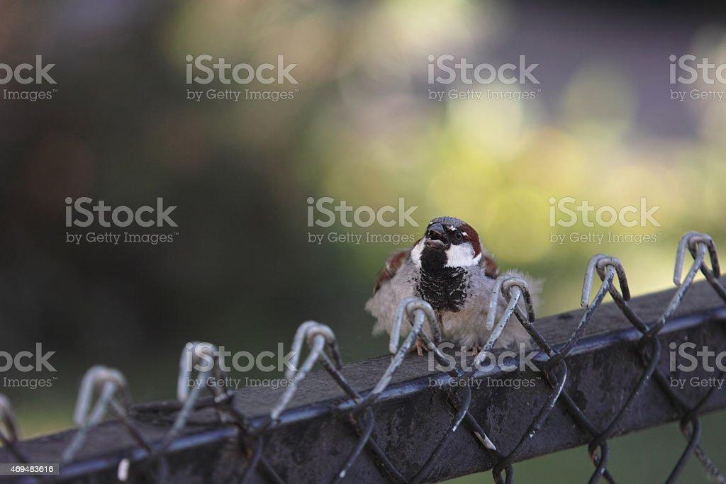 Songbird Singing on Fence royalty-free stock photo