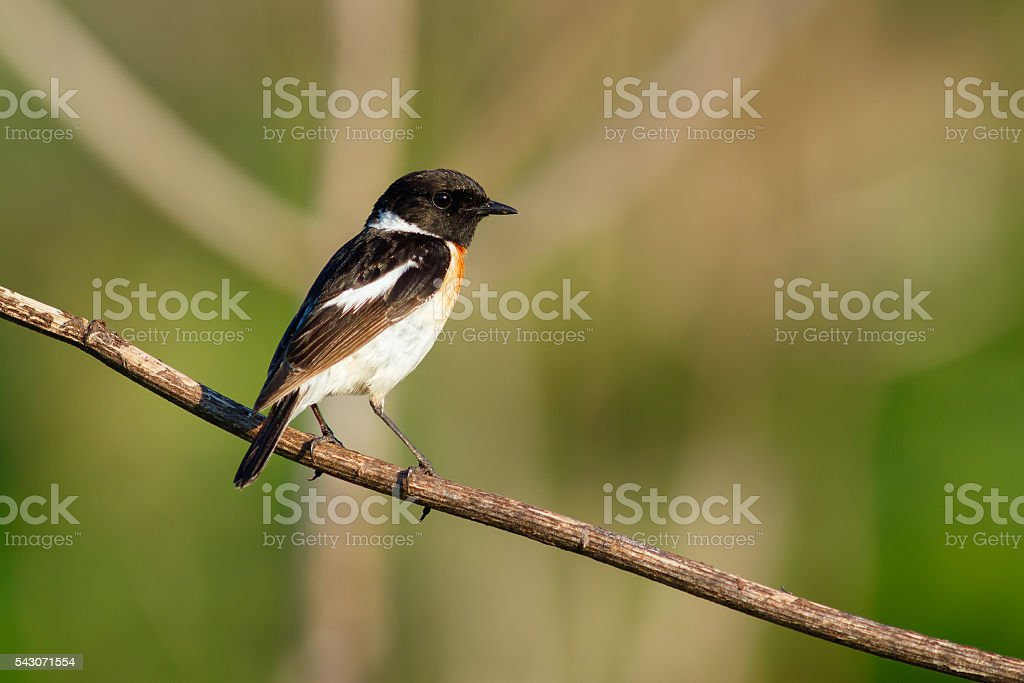 Songbird Stonechat on the branch. (Saxicola torquata). Male. stock photo