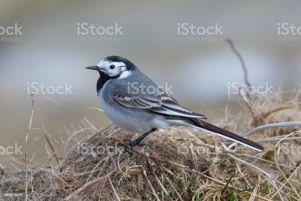 Songbird - White Wagtail Sitting on the Ground stock photo
