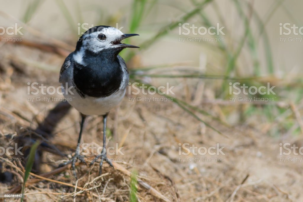 Songbird - White Wagtail with Beak Open stock photo