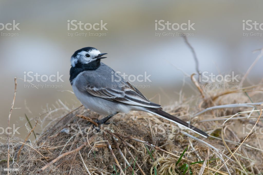 Songbird - White Wagtail with Head Turned stock photo