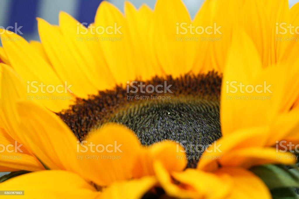Sonnenblume close up stock photo