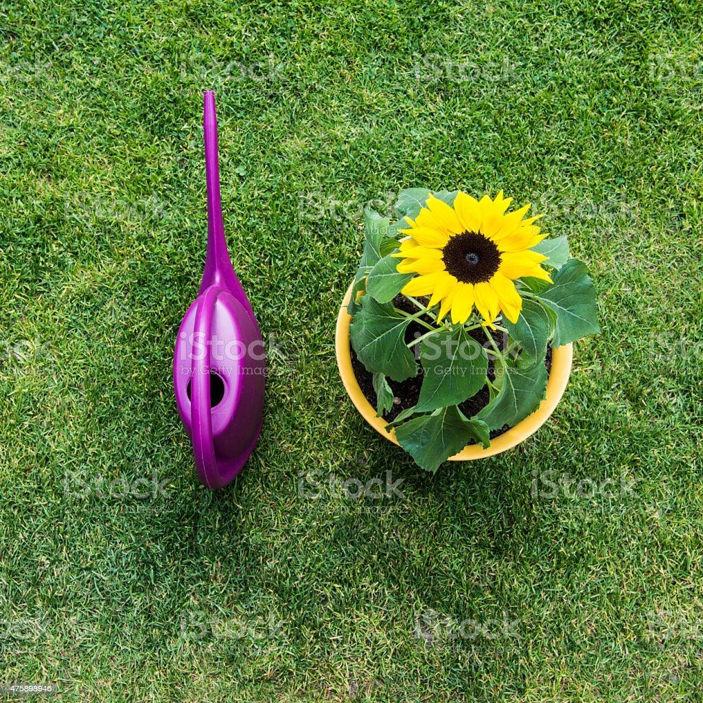 Sonnenblume im Topf - Gie?kanne stock photo
