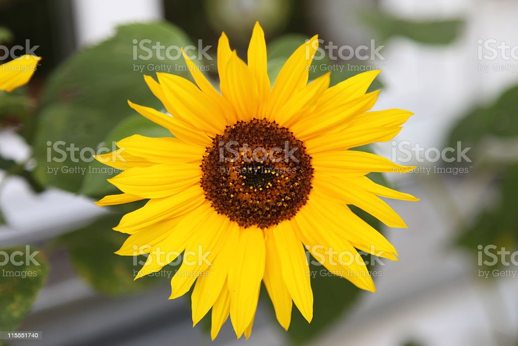 Sonnenblume ロイヤリティフリーストックフォト