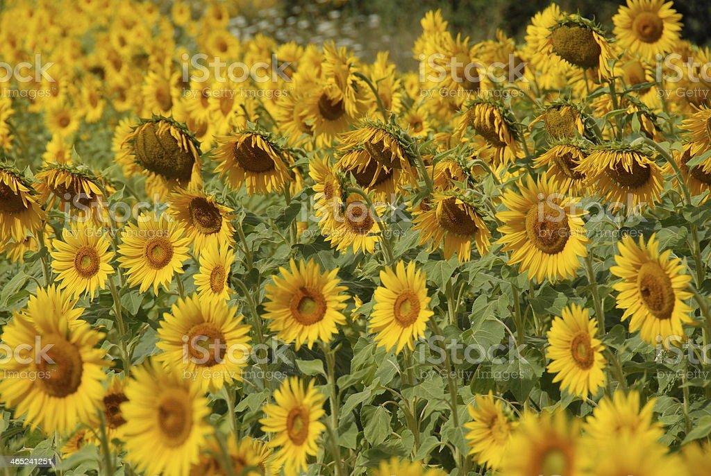 Sonnenblume stock photo