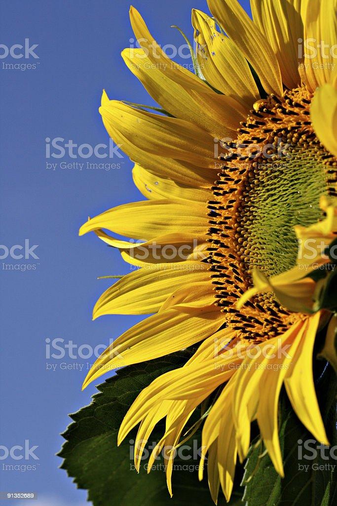 Sonnenblume royalty-free stock photo